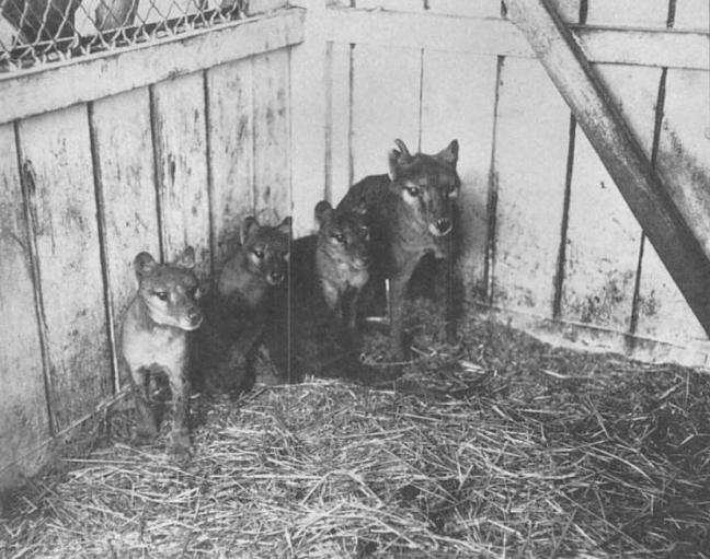 Thylacine_cubs