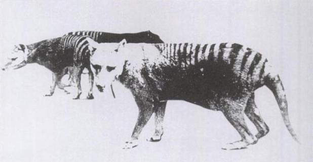 Thylacine_pouch