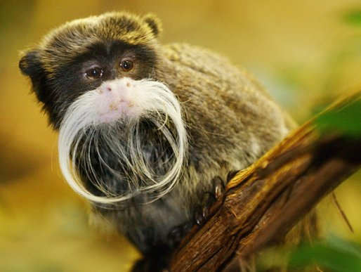 1203-monkeys-emperor-tamarin
