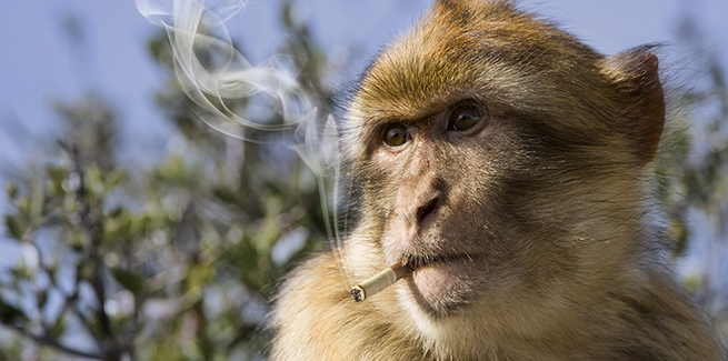 Smoking monkey at Gibraltar