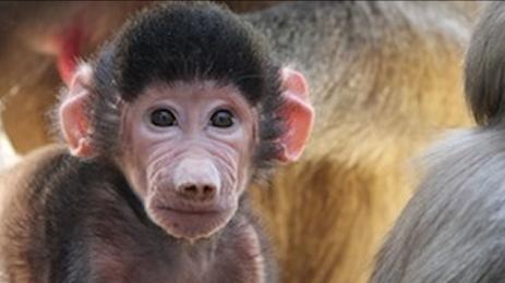 701467_050615-kgo-oakland-zoo-baboon-baby-img