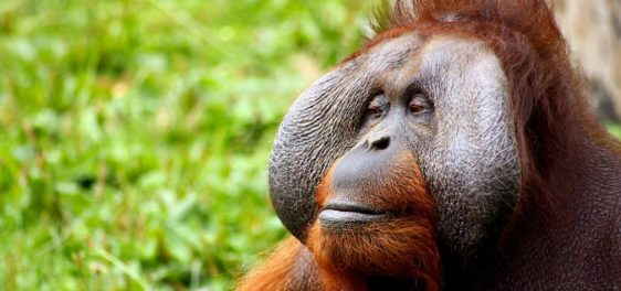animal_ape_calm_face_hairy_jungle_monkey_orangutan-1062432-37dxaaxzx33hca5gbodo8w