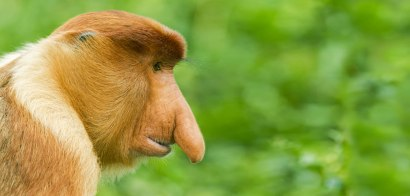 header-proboscis-monkeys