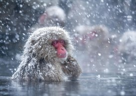 how-japans-snow-monkeys-cope-with-the-cold