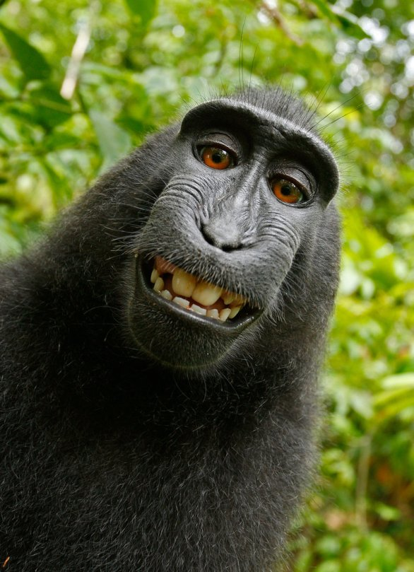 monkey-selfie_custom-6c31c5060ac8590cd1317de8e075796d6be0510d-s800-c85
