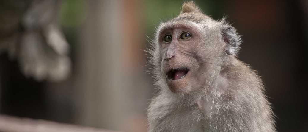 monkey-steal