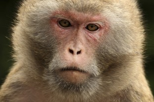 rhesus-macaque-monkey-hong-kong