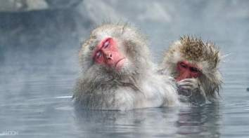 snow-monkeys-hakuba
