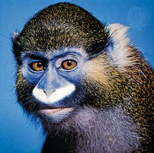 species-guenon